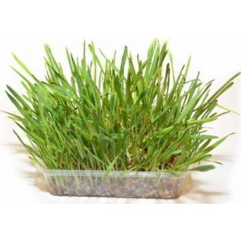 DUVO CAT GRASS 100G